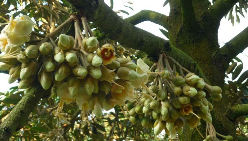 Cách chăm sóc cây sầu riêng giai đoạn ra hoa đậu trái