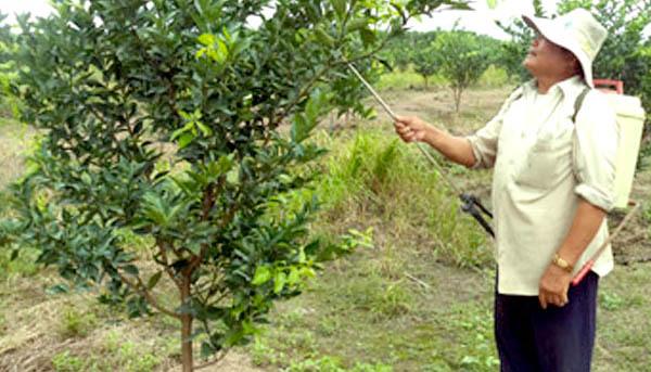 Chăm sóc cây ăn trái giai đoạn kiến thiết