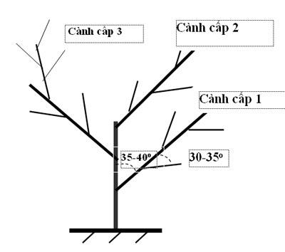 kỹ thuật cắt tỉa cành tạo tán cây có múi