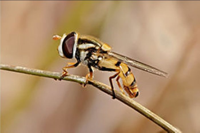 thiên địch rệp giả ong
