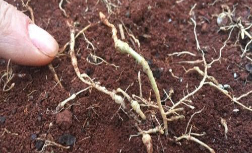 cách phòng trừ tuyến trùng gây hại rễ