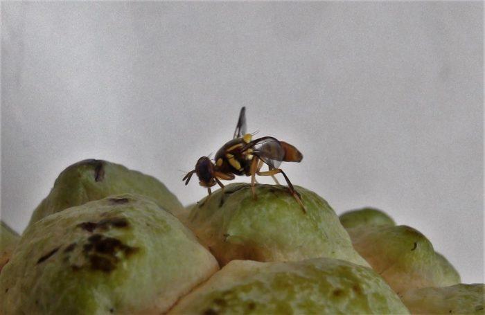 ruồi vàng
