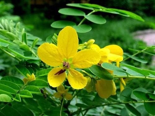 Muồng hoa vàng là một trong những cây phân xanh phổ biến