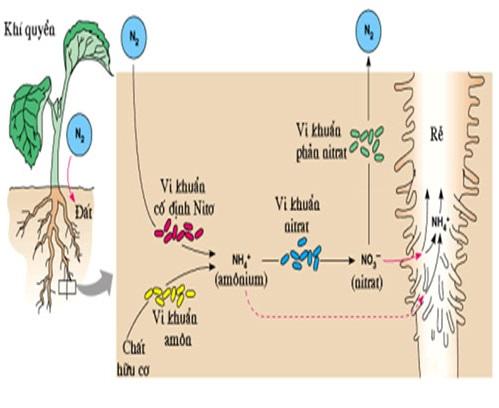 Vai trò của vi sinh vật: cố định nitơ