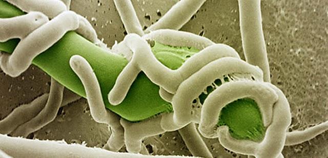 nấm đối kháng Trichoderma