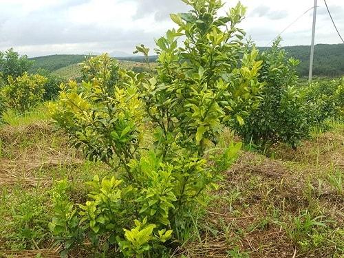 Không phòng bệnh là một sai lầm trong chăm sóc cây ăn quả có múi
