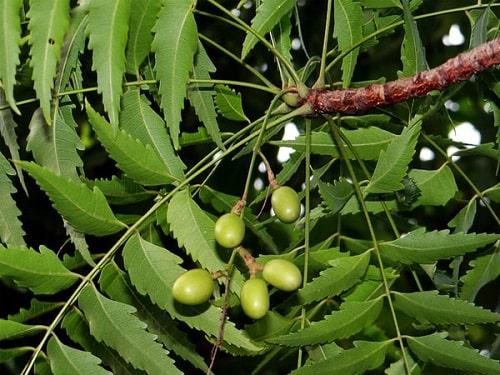 xoan là một loại cây hương liệu