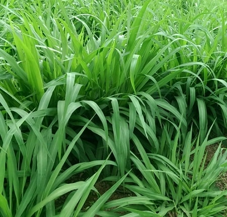 cỏ sả là cây che phủ đất đa dụng