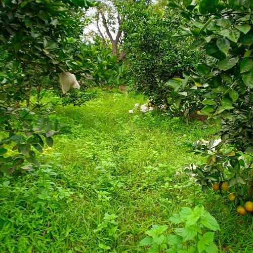Sai lầm trong chăm sóc cây có múi là diệt sạch cỏ trong vườn