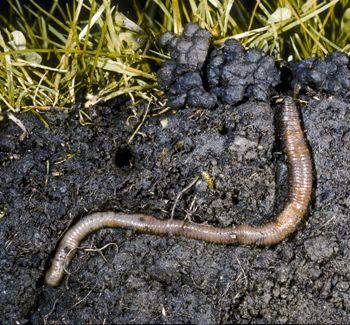 giun đất giúp đất thông thoáng, tơi xốp
