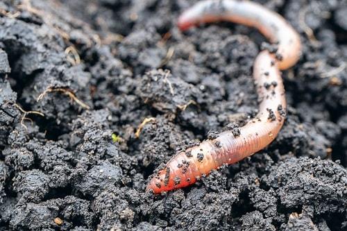 giun bổ sung một lượng lớn chất dinh dưỡng cho đất từ việc thải ra phân
