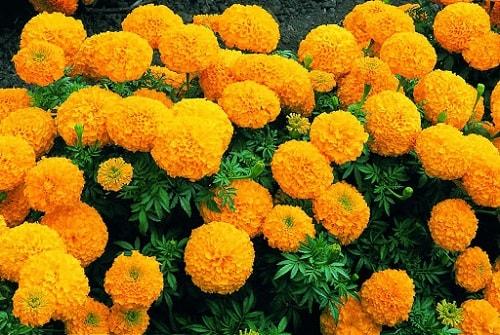 Cúc vạn thọ là cây hương liệu được sử dụng nhiều