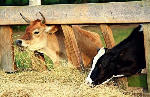 Thức ăn của gia súc là rơm rạ