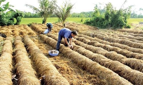 Tận dụng nguồn rơm rạ để trồng nấm