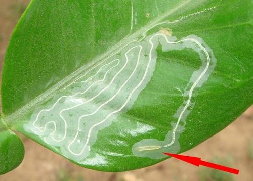 Ấu trùng sâu vẽ bùa chui qua biểu bì lá ăn phần nhu mô của lá