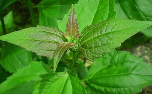 Thân, lá cỏ lào được dùng làm thuốc