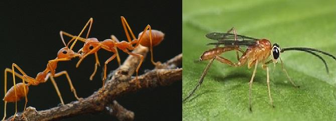 Thiên địch của sâu vẽ bùa là kiến vàng và ong ký sinh