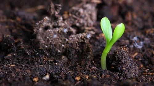 Phân chuồng vừa cung cấp dinh dưỡng, vừa giữ ẩm, cải tạo đất trồng