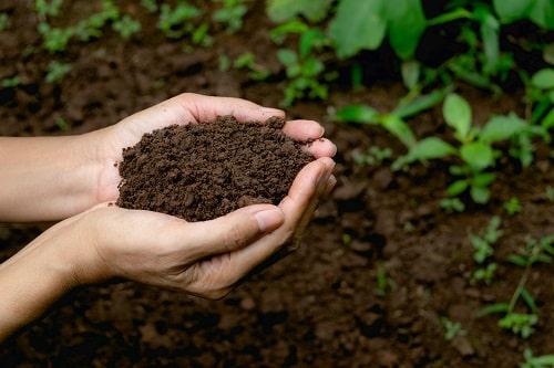 Bổ sung phân hữu cơ thường xuyên giúp cải tạo đất trồng, giúp đất tơi xốp, phì nhiêu