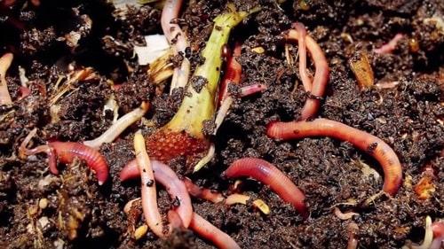 Giun đất không những giúp đất tơi xốp mà còn giàu dinh dưỡng