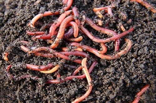 giun quế là một trong những tài nguyên quan trọng trong trồng trọt
