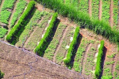 Trồng cỏ vetiver trên đồi dốc là một cách chống xói mòn đất hiệu quả
