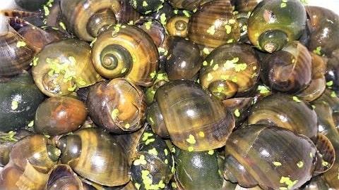 ốc bươu vàng sẽ không còn là dịch hại nếu biết tận dụng để làm phân bón