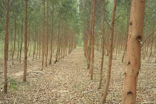 Trồng độc canh bạch đàn hay bất kỳ cây trồng nào đều ảnh hưởng đến hệ sinh thái