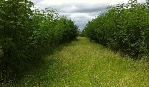 cây keo dậu có thể trồng thâm canh hoặc trồng xen canh