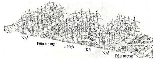 xen canh theo luống