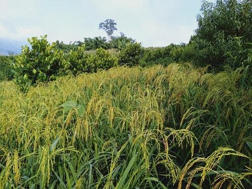 những cánh đồng lúa trong nông  trại tự nhiên