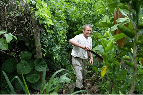 Việc cắt cành, kể cả cành lớn, định kỳ là một công đoạn quan trọng trong syntropic farming