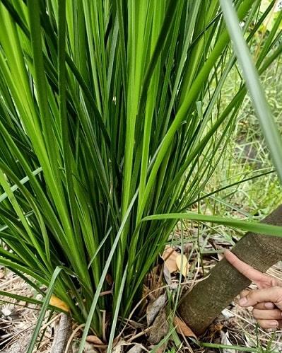 thân lá cỏ vetiver