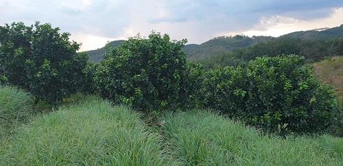 Vườn bưởi của nhà vườn Phạm Thị Cúc