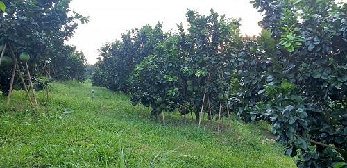 Vườn bưởi đang cho thu hoạch của nhà vườn Phạm Thị Cúc