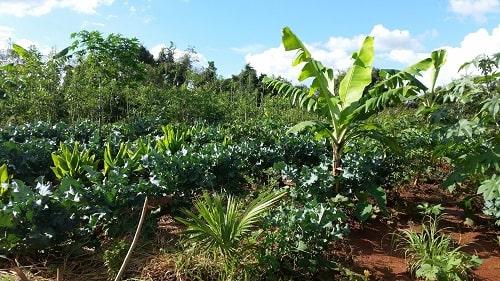 Việc thiết lập các tổ hợp cây trong nông nghiệp rừng rất quan trọng