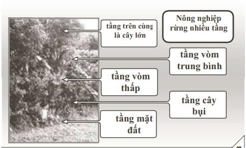 Nông nghiệp rừng nhiều tầng bao gồm: Tầng trên là cây lớn, tầng vòm trung bình, tầng vòm thấp, tầng cây bụi, tầng mặt đất