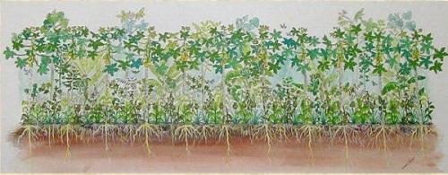 hình minh họa cho hệ thống nông nghiệp rừng sinh thái: Cây ăn trái và rau màu