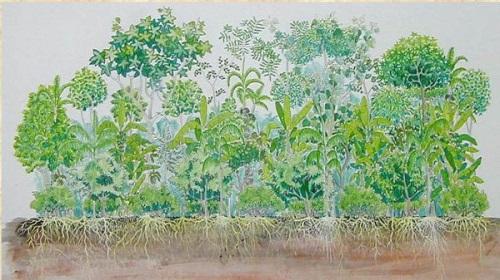 hình minh họa cho hệ thống nông nghiệp rừng sinh thái: Cây ăn trái và cây gỗ