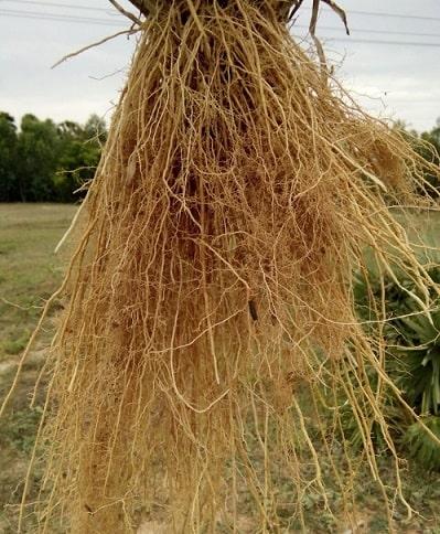 rễ cỏ Vetiver