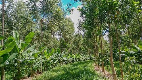 Trong Syntropic AgroForestry việc phân tầng và trồng xen kẽ các loại cây khác nhau ở mỗi tầng là điều kiện tiên quyết