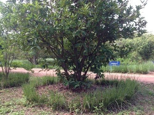 hay trồng vòng tròn xung quanh tán cây.