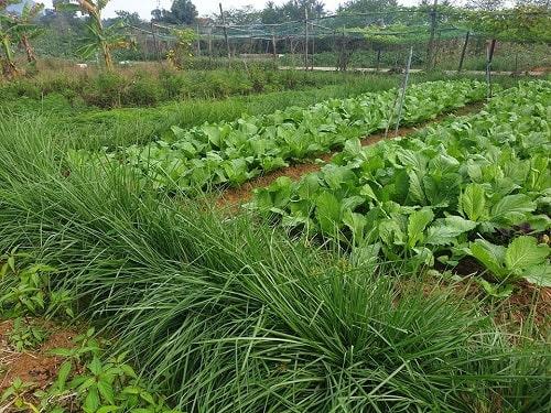 Cỏ Vetiver được ứng dụng như là một hàng rào sinh học để ngăn chặn và dẫn dụ các loài côn trùng có hại cho cây trồng