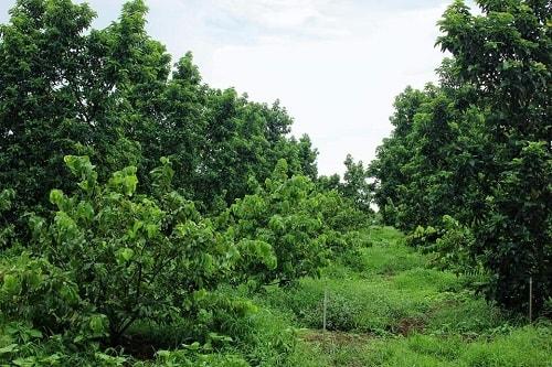 Vườn bơ sáp Mã Dưỡng ở Bình Phước