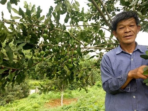 Vườn mắc ca của công ty Cổ phần mắc ca và sa chi Lạng Sơn