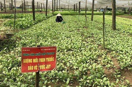 Ruộng rau sản xuất theo hướng an toàn