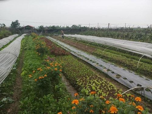 Trồng rau xen canh với hoa