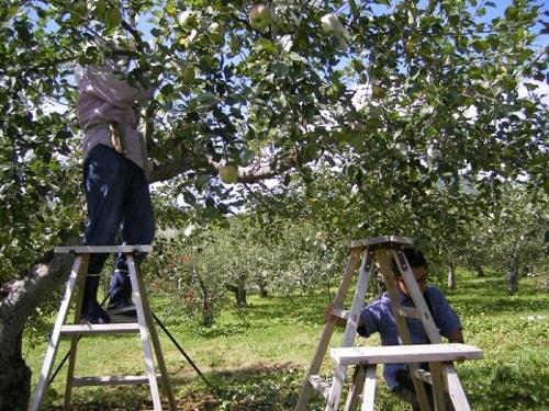 Sau một thời gian dài dùng thuốc hóa học rồi ngưng phun, vườn táo của KImura bị sâu bệnh phá tan tành