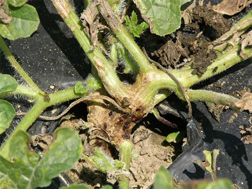 Bệnh nứt thân xì mũ trên cây dưa hấu