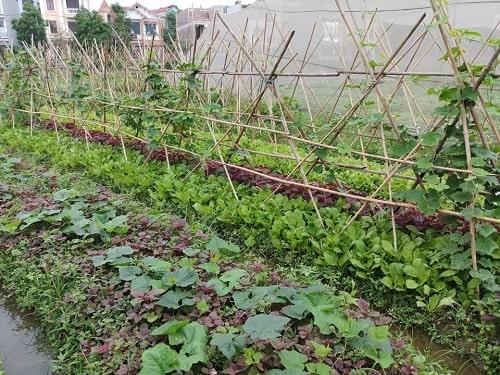 Kỹ thuật trồng xen canh rau hữu cơ